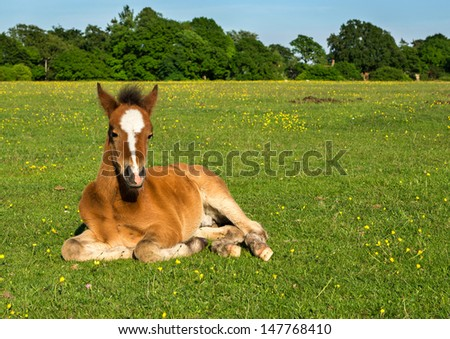 Young Brown Horse Foal Sitting Upright in Green Field
