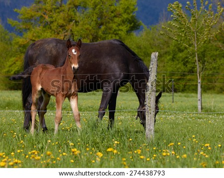 Young brown horse on the pasture with its mother