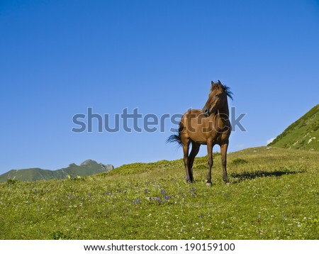 young brown horse standing in mountain flower covered meadow, russia - stock photo