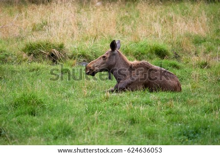 Young brown moose lying on green grass at summertime meadow.