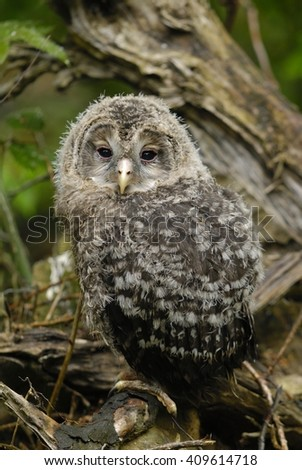 young brown owl sitting on a bough in National park Bavarian Forest in germany