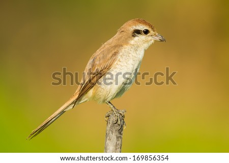 Young Brown shrike(Lanius cristatus) in nature in the evening light