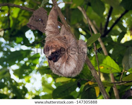 Young brown-throated sloth hanging from a branch in the jungle - stock photo