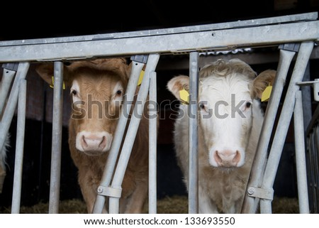 young  brown white cow on a dutch farm - stock photo