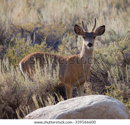 Young Buck Mule Deer (Odocoileus hemionus) in the Eastern Sierra high desert of California - stock photo