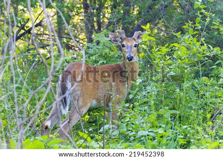 Young buck spotted in the thicket - stock photo
