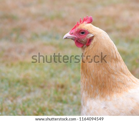 Young Buff Orphington Chicken