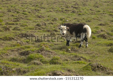 Young buffalo - stock photo