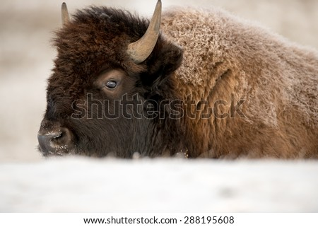 Young buffalo with hoarfrost on its fur; behind a snowbank - stock photo