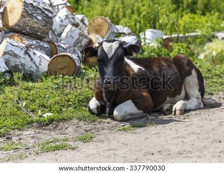 young bull. calf - stock photo