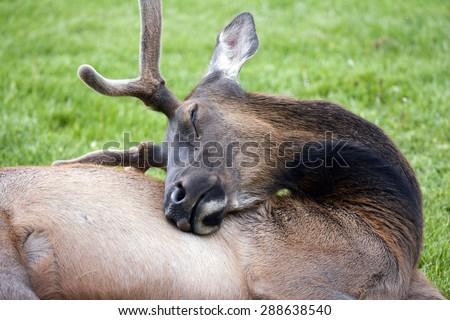 young bull elk sleeping - stock photo