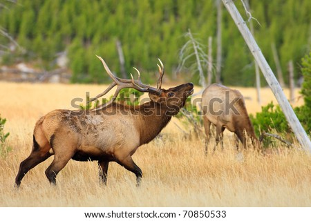 Young bull elk trying to show off for cow elk in Yellowstone. - stock photo