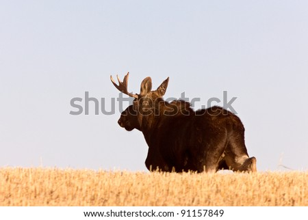 Young Bull Moose running in prairie field - stock photo