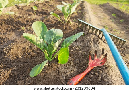 Young cabbage and garden tools on a bed of garden - stock photo