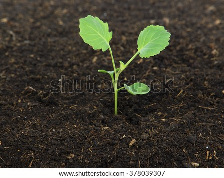 Young cabbage plant in soil