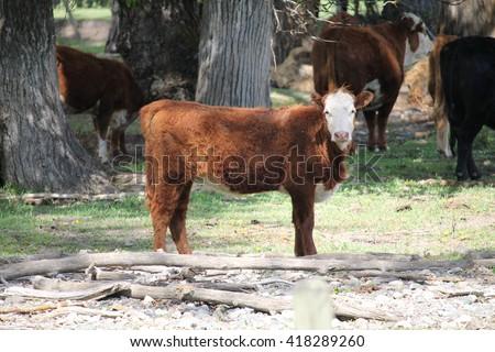 Young calf - stock photo