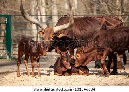 Young calf and his mother  - stock photo