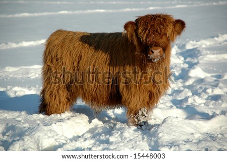 Young calf at winter time