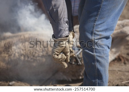 Young calf being branded by cowboy