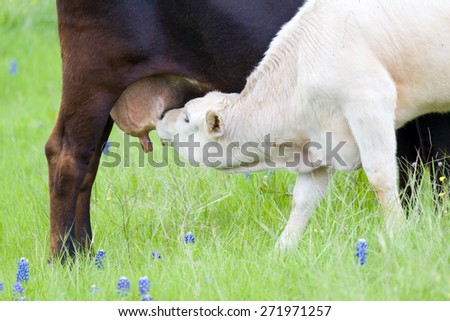 Young calf suckling from its mother's udder in a field of Texas Bluebonnets
