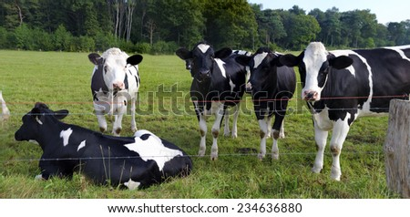 young calves behind barbed wire  - stock photo