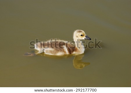 Young Canada Goose gosling swimming alone on lake - stock photo