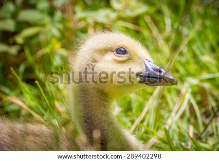 Young Canada goose Gosling with his head tilted up looking at the sky