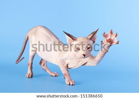 Young canadian sphinx cat on a blue background - stock photo