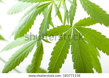 Young cannabis plant, marijuana, isolated on white background - stock photo