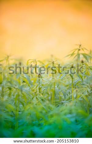 Young cannabis plants, marijuana, close-up. - stock photo