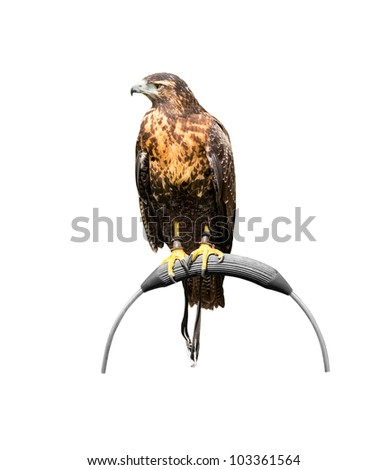 Young captive black-chested eagle-buzzard (female), geranoaetus melanoleucus, sitting on a bow perch, isolated over white - stock photo