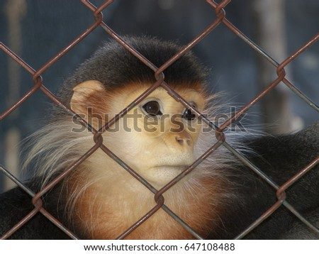 Young, captive red-shanked douc monkey looking longingly out from his cage at a zoo in Bangkok, Thailand