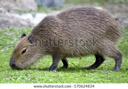 Young capybara. Latin name - Hydrochoerus hydrochaeris - stock photo