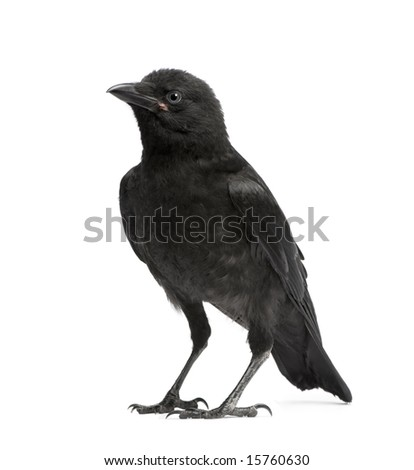 Young Carrion Crow - Corvus corone (3 months) in front of a white background