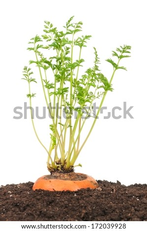 Young carrot with green leaves in a black soil over white background - stock photo