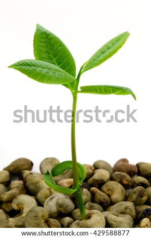 Young Cashew Tree (Anacardium occidentale) with Unpeel Cashew Nut on isolated background.