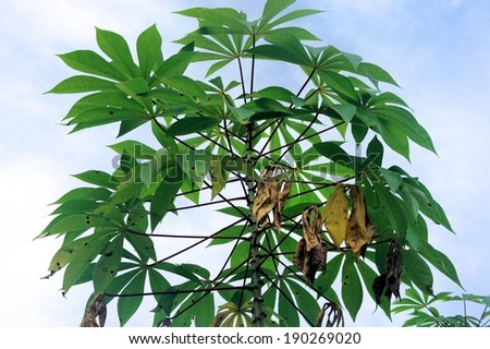 Young cassava green bush. Tropical fruit. Philippines. - stock photo