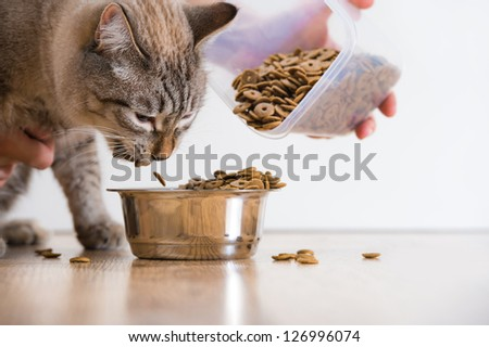 Young cat eating at home from its bowl. Female hand adding food - stock photo
