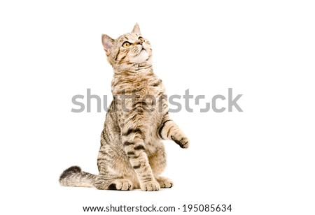 Young cat Scottish Straight sitting curious to looking up - stock photo