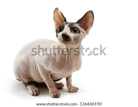 Young cat sphynx isolated on a white background