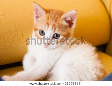 Young cat with a white-red hair