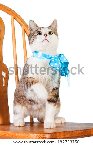 Young cat with blue bow sitting on the chair isolated on white - stock photo