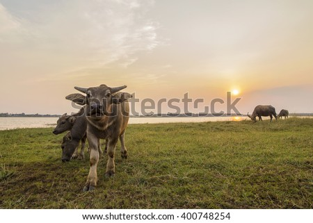 Young cattle,buffalo are eating green grass on lake during sunset time - stock photo