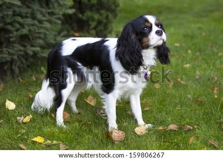 young cavalier kings charles spaniel