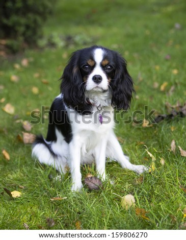 young cavalier kings charles spaniel - stock photo