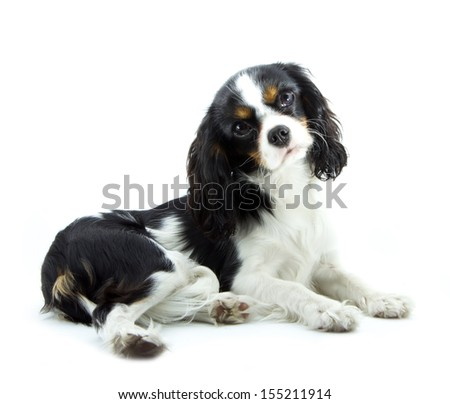 young cavalier kings charles spaniel isolated on white - stock photo