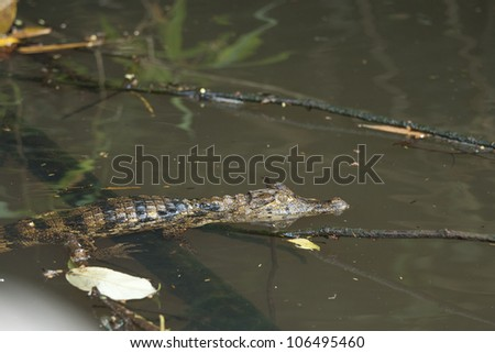 Young cayman in a river - stock photo