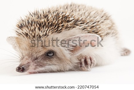 Young Central Asian hedgehog - stock photo