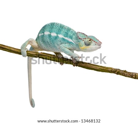 Young Chameleon Furcifer Pardalis - Nosy Be (7 months) in front of a white background - stock photo