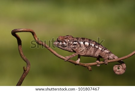 Young Chameleon - Furcifer Pardalis (Panther Chameleon) walkinh slowly on a small branch